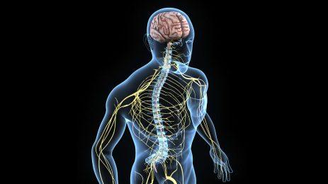 Beynimizin diğer organlarla ilişkisi